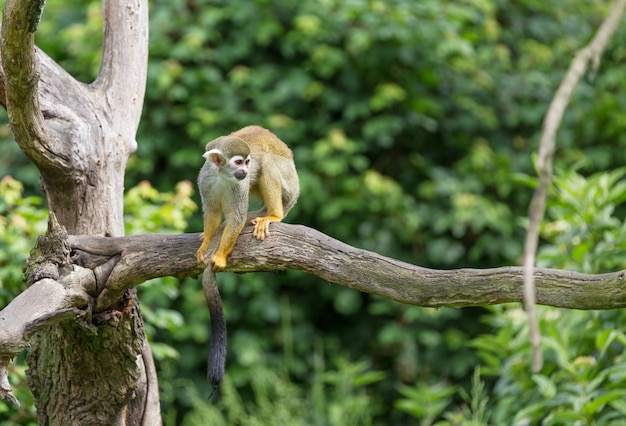 木の枝に座っているリスザルsaimiri sciureusの肖像 Premium写真