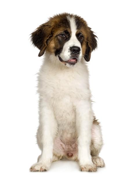 Щенок сенбернара (7 месяцев) Premium Фотографии