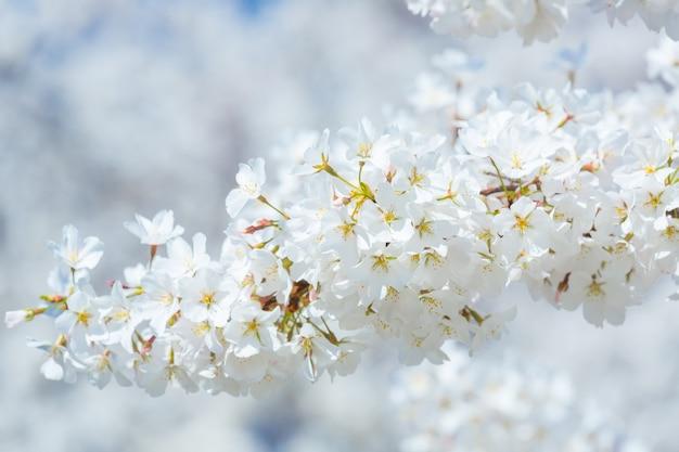 Sakura cherry blossoms Premium Photo