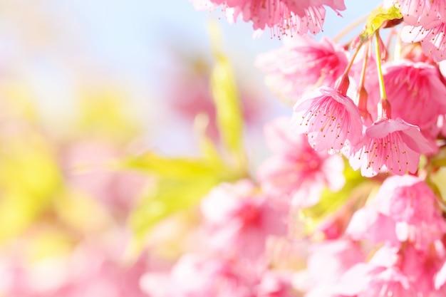 Sakura flower Premium Photo