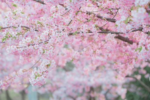 Sakura,pink cherry blossom in japan on spring season. Premium Photo