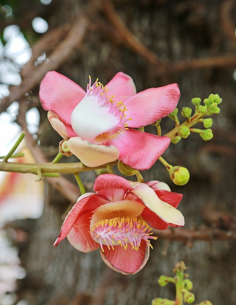 Sal of india, couroupita guianensis aubl. the plant in buddhism history and typically be founded growing in thai temple area. Premium Photo