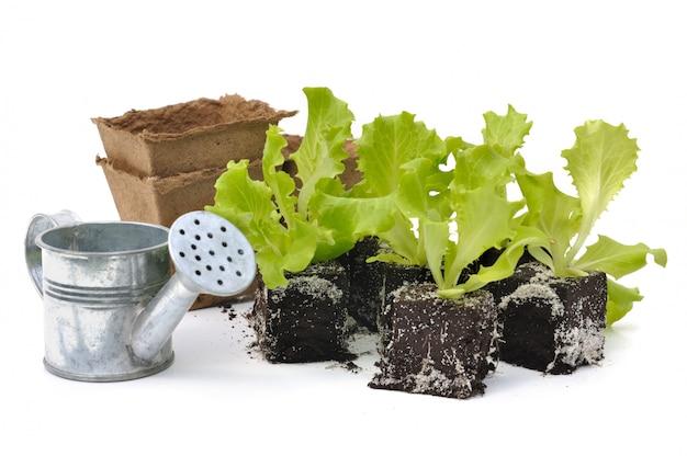 Salad shoots Premium Photo