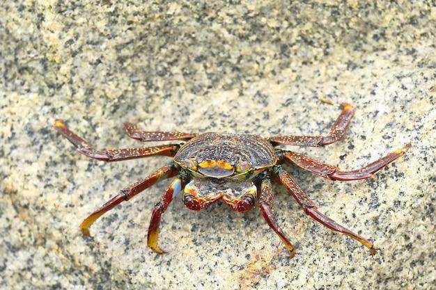 サリーライトフットカニまたはロックカニ(grapsus grapsus)は、波が当たった岩の間で食べ物を探しています。 Premium写真