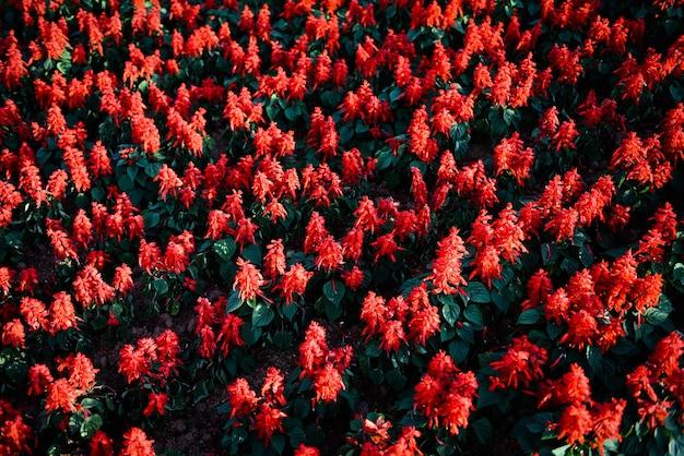 Цветы шалфея в саду, красиво цветущие цветы шалфей красный (salvia splendens) Premium Фотографии