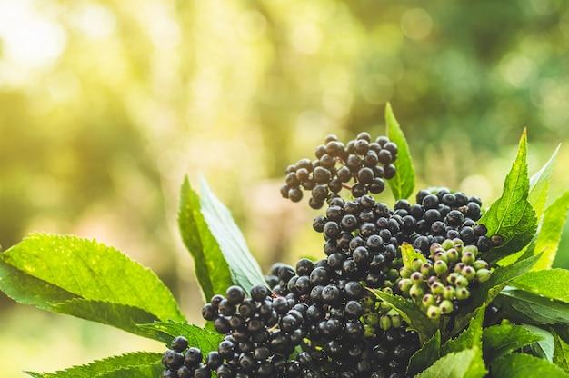 Плоды плодов черной бузины в саду в солнечном свете (sambucus nigra). бузина, чёрный бузина, чёрный бузина европейский фон Premium Фотографии