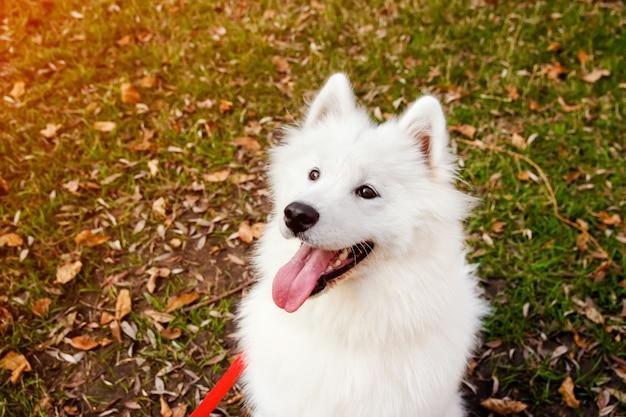 Samoyed dog portrait in autumn park. canine background. walk dog concept. Premium Photo