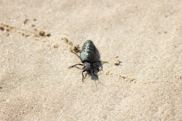 Sand beetle on the sand, close-up. spring beetle wild nature Premium Photo