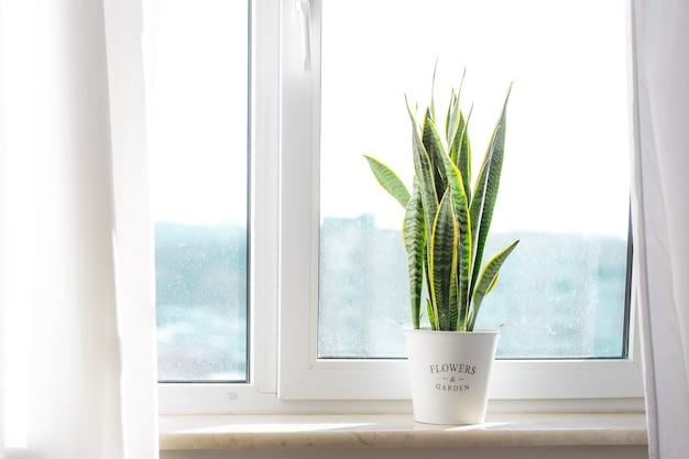 Sansevieria snake plant indoorsurban jungle concept home plant Premium Photo