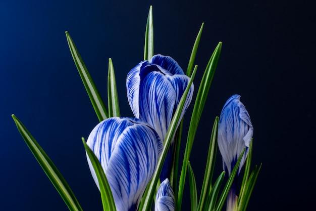Большой крокус крокус sativus vernus цветет с голубыми венами на синей предпосылке. актуальные цвета для открыток ко дню матери, день святого валентина 2020. Premium Фотографии