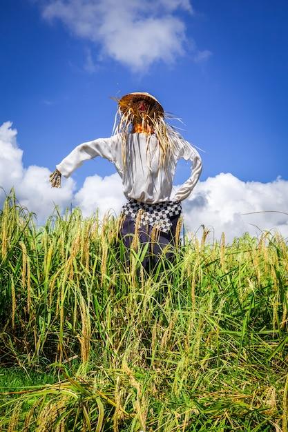 Scarecrow in jatiluwih paddy field rice terraces, bali, indonesia Premium Photo