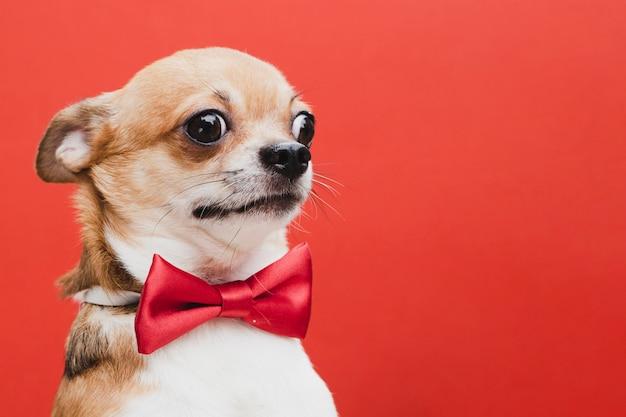 Испуганная собака с красным бантом копией пространства Premium Фотографии