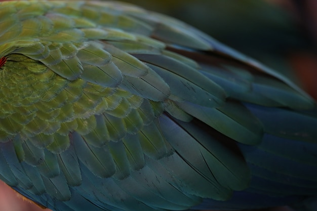 Scarlet macaw feathers, colorful texture Premium Photo