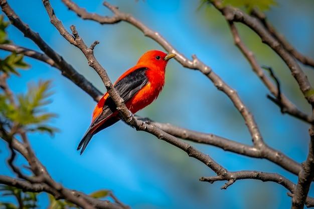 Scarlet tanager (piranga olivacea Foto Gratuite