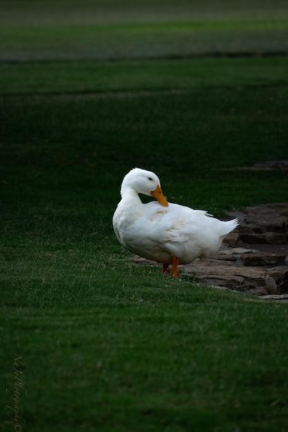 Scenario di un simpatico pekin duck bianco che bazzica nel mezzo del parco Foto Gratuite
