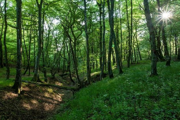 高層の木々やその他の植物が生い茂る緑の森に輝く太陽の風景 無料写真