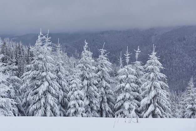 Scenic image of spruces tree. frosty day, calm wintry scene. Free Photo