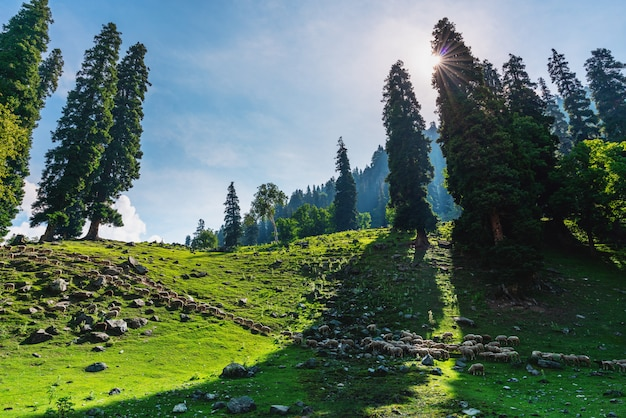 Scenic natural countryside landscape, with group of sheep walking through in pasture Premium Photo