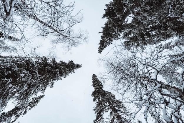 フィンランド、オウランカ国立公園の雪に覆われた風光明媚な松林 無料写真