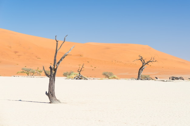 The scenic sossusvlei, braided acacia trees surrounded by majestic sand dunes. namib naukluft national park, namibia. Premium Photo