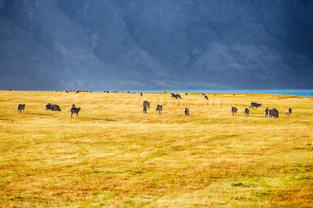 Scenic view of sheep in south island new zealand Premium Photo