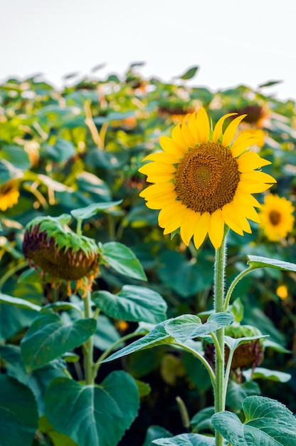 Scenic Wallpaper With A Close Up Of Sunflower Against Green Background Flowers Big