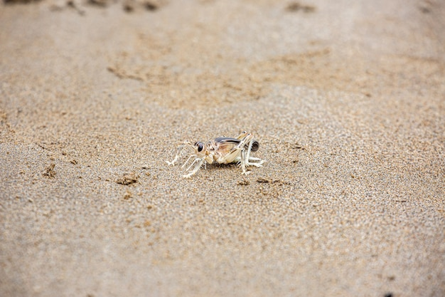 Крикет дюны или schizodactylus salweenensis описан эндемично из реки салвин, Premium Фотографии