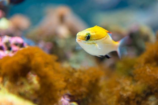 A school of blue-stripe snappers  in aquarium,osaka japan Premium Photo