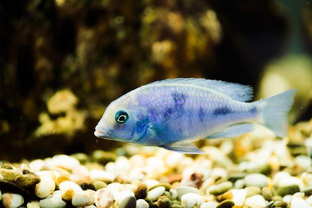 黒い斑点のある青色のsciaenochromis fryeri魚は、水槽に浮かんでいます。水槽のムブナ。シクリッド。 Premium写真