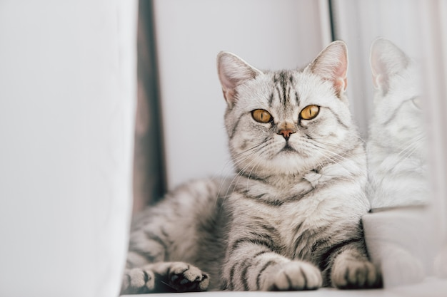 A scottish or british cat with a marbled black and white color is resting on a white windowsill on a bright sunny day. Premium Photo