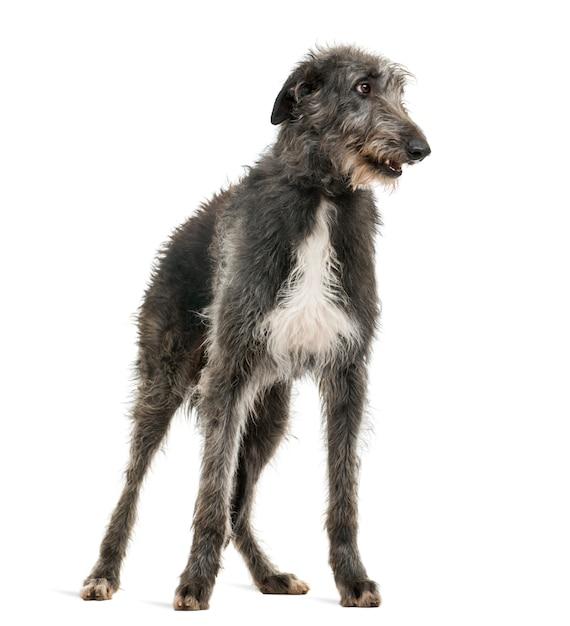Lébrel escocês cães gigantes