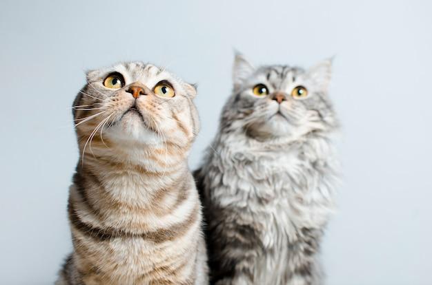 Шотландская вислоухая и шотландская прямоухая, голубо мраморная кошка. на бе Premium Фотографии