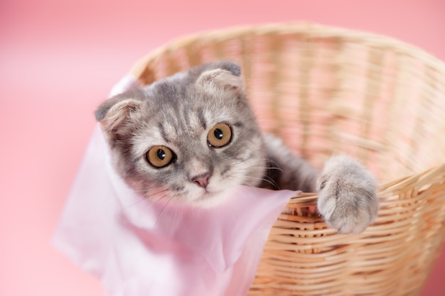 Scottish fold cat breed, age 3 months in basket . little scottish fold cat cute ginger kitten in the fluffy pet is feeling happy and cat lovely comfortable . love to animals pet concept . Premium Photo