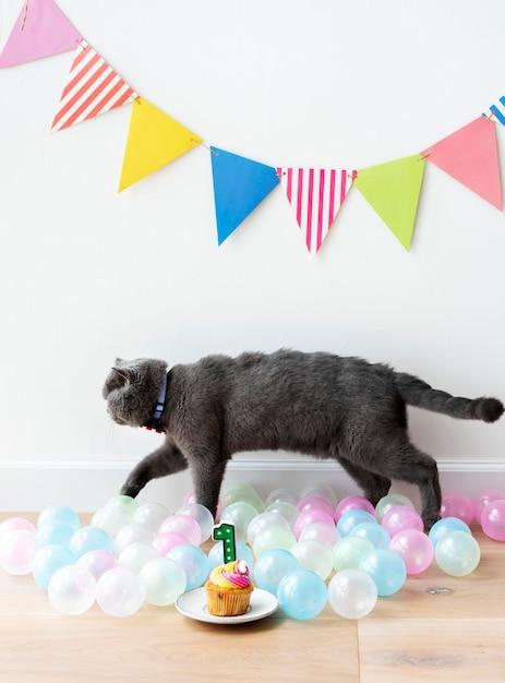 Scottish fold cat celebrating its first birthday Free Photo