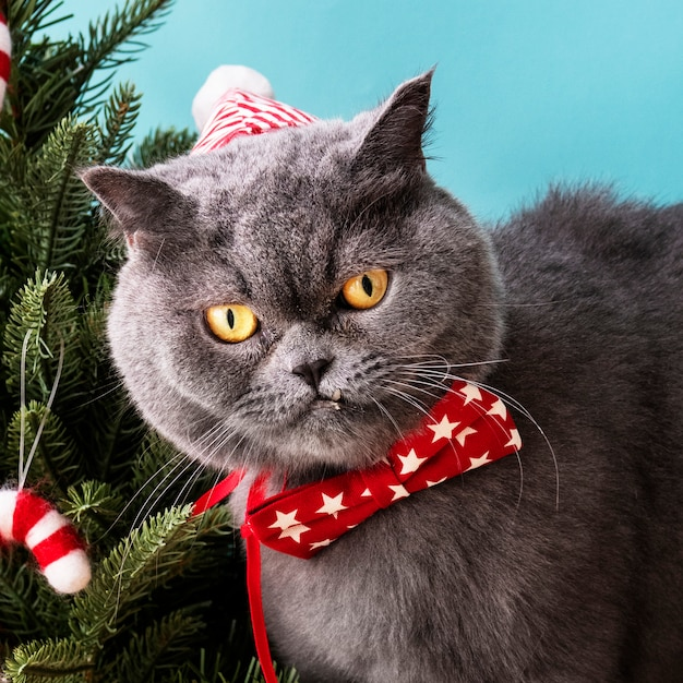 Scottish Fold cat wearing a red bow celebrating Christmas Free Photo