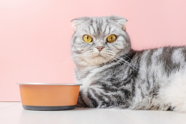 Scottish fold gray cat eats dry food from a bowl Premium Photo