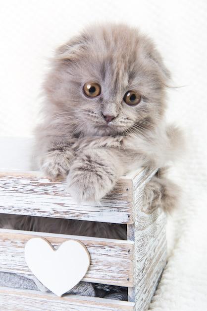 Premium Photo Scottish Fold Highland Fold Kitten Gray Fluffy Cat