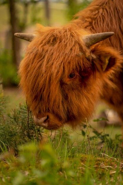 牧草地のスコットランドのハイランド牛。 Premium写真