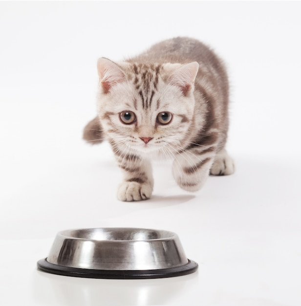 Scottish kitten rushing toward a bowl Premium Photo
