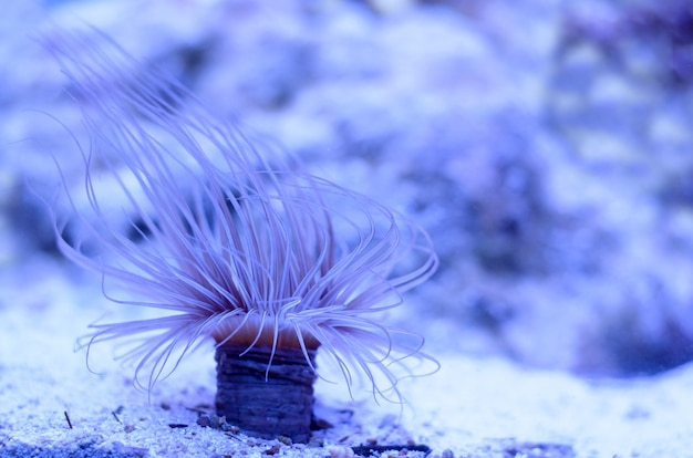 Sea anemone in a dark blue water of aquarium. Premium Photo