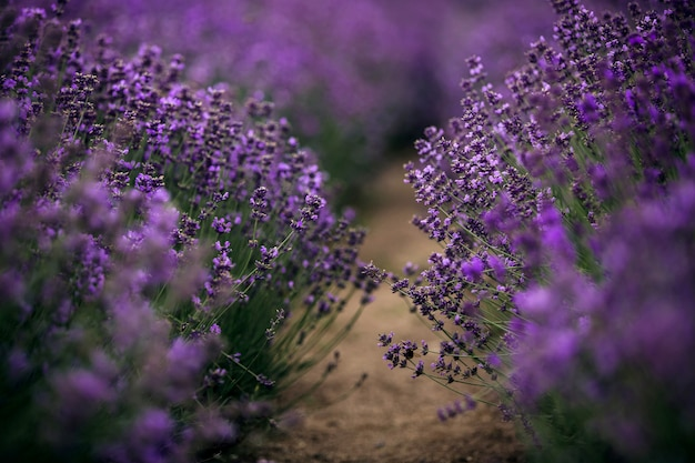 Sea of lavender flowers focused on one in the foreground. Premium Photo