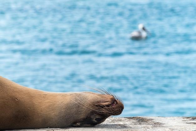 エクアドルのガラパゴス諸島の海の桟橋で眠っているアシカ 無料写真