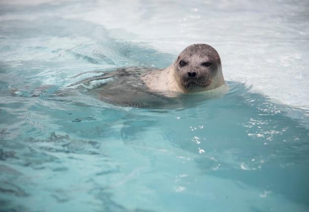 Sea lion swiming. Premium Photo