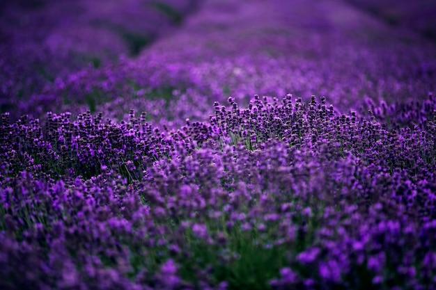 Море цветов лаванды Premium Фотографии