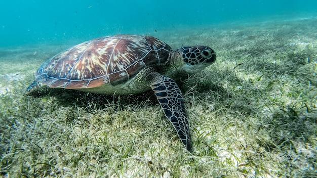 Sea turtle swims in sea water Premium Photo