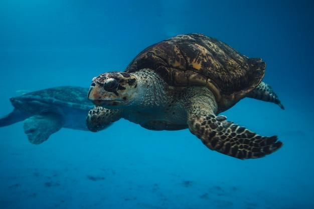 Sea turtles swimming Premium Photo