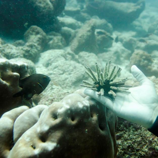 sea urchin decor.htm sea urchin on the hand of a person  santa cruz island  galapagos  santa cruz island  galapagos