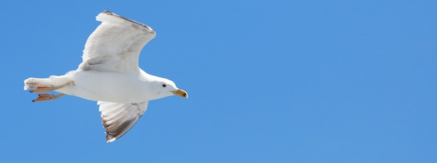 Seagull backlit by the sun flies Premium Photo
