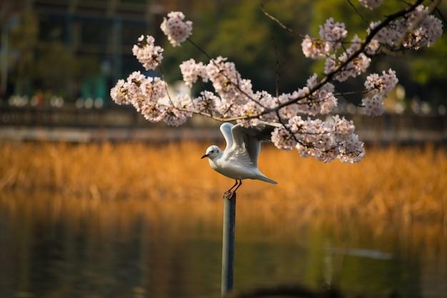 カモメ、桜、桜 Premium写真