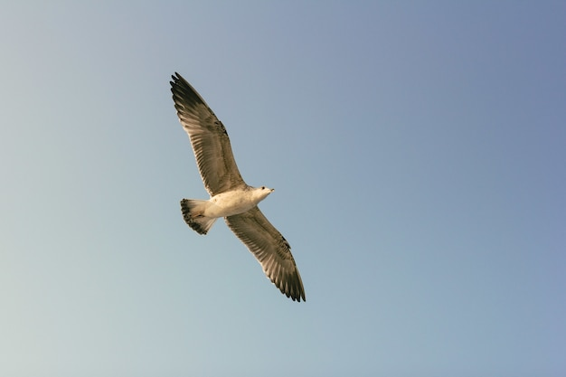 Seagull flying Free Photo